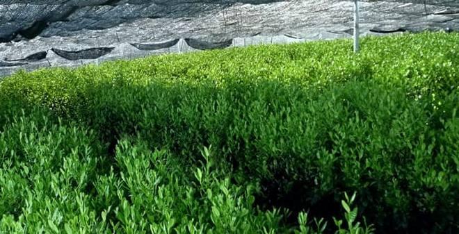 Выращивание Тенча, накрытого экранами