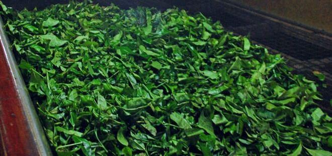 Зелёный чай на ленте конвейера